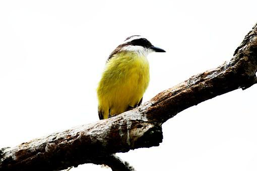 Ray, Bird, Brasileira, Well-you-saw, Brazilian Fauna