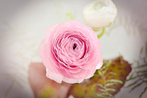 Ranunculus, Flower, Blossom, Bloom, Pink, White, Petals