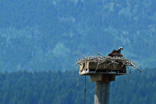 Osprey, Bird, Nature, Nesting, Wildlife, Raptor