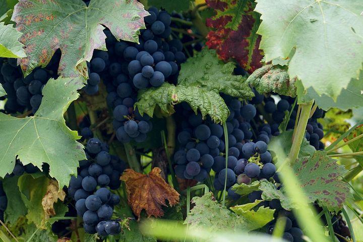 Wine, Grape, Cluster, Autumn, Balls, Vintage, Blue