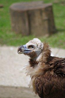 Vautour Moine, Vulture, Zoo, Mulhouse