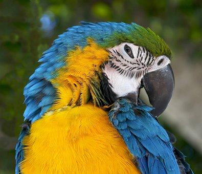Ara Ararauna, Blue-and-yellow Macaw