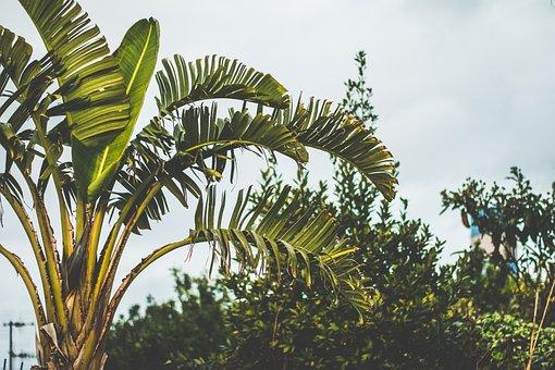 Banana, Cloudy Skies, Green, Nature, Outdoor, Plants