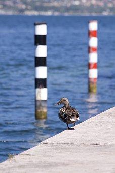 Mallard, Female, Bird, Ducks, Swimming Duck, Bank