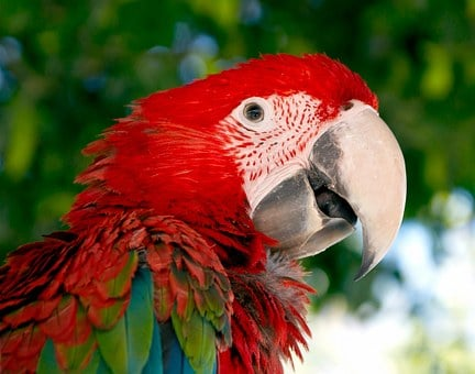 Macaw, Parrot, Bird, Red, Green, Red And Green Macaw