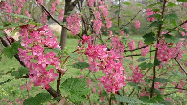 Blood Currant, Blossom, Bloom, Red, Ribes Sanguineum