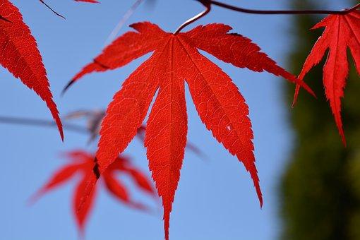 Blood Maple, Maple, Leaf, Red, Tree, Maple Leaf, Leaves