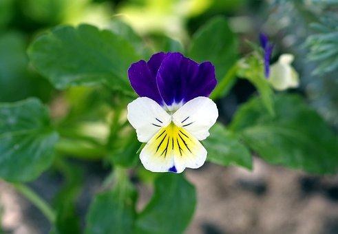 Violet, Blue-white, Herb, Tiny Flower, Flower