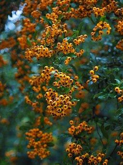 Firethorn, Fruits, Berries, Orange, Bush, Pyracantha