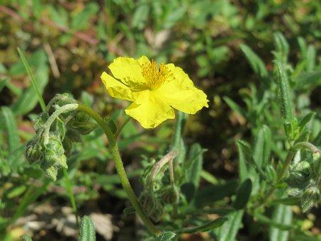 Helianthemum Nummularium, Common Rock-rose, Blossom
