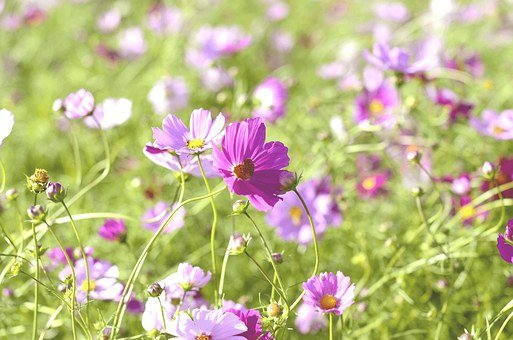 Field, Autumn, Flower Garden, Cosmos, Plants, Flowers