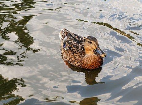Mallard, Duck, Water Bird, Plumage, Pond, Bird, Swim