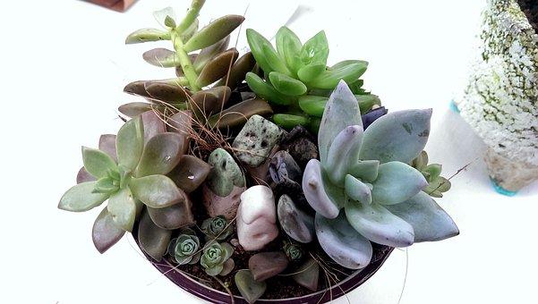 Echeveria, Micro-pot, Potted Plants, Windmill Grass