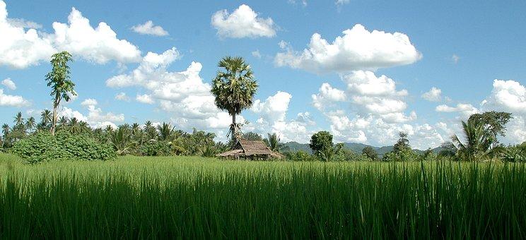 Thailand, Landscape, Rice, Palm Trees, Grass, Field