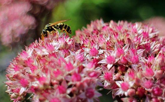 Flowers, Stonecrop, Big Fat Hen, Green, Pink, Violet