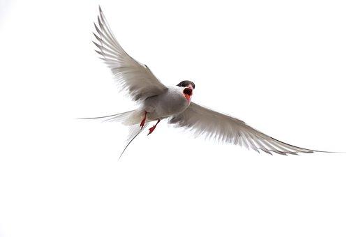 Arctic Tern, Isle Of May, Seabird, Wildlife, Nature