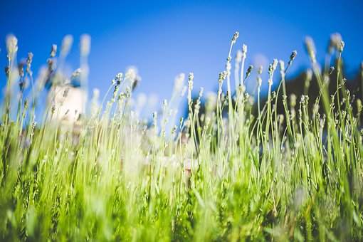 Crop, Field, Green, Lavender, Leaves Stock Photo