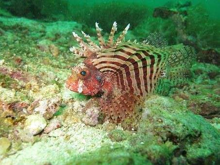 Lionfish, Red Lionfish, Fish, Red, Sea, Reef, Marine