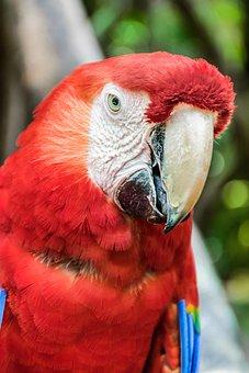Parrot, Ave, Macaw, Guara, Perico, Beautiful, Nature