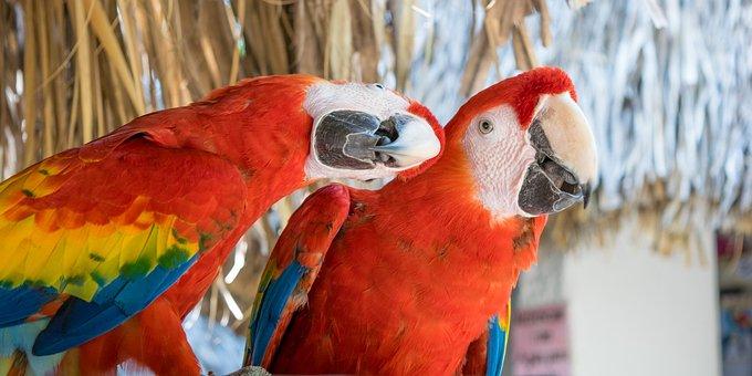 Guacamayas, Macaws, Red, Love, Ave, Animal, Exotic Bird