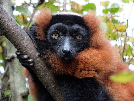 Maki, Monkey, Madagascar, Mammal, Vari