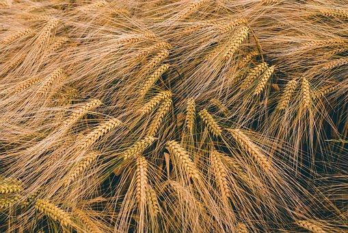 Close-up, Field, Golden, Grain, Harvest Crop, Malts