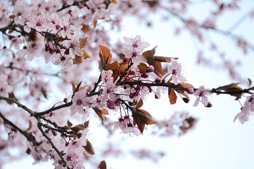 Flowers, Blood Plum, Bloom, Tree, Spring, Nature