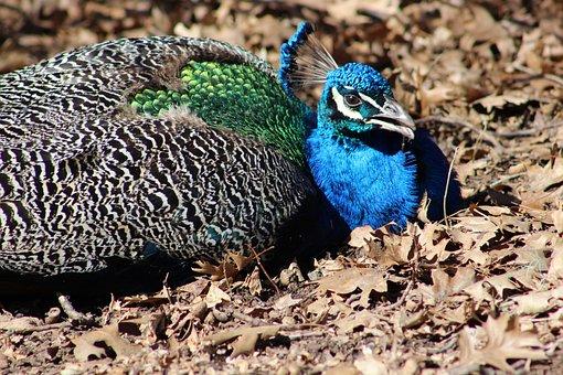 Peacock, Bird, Pheasant, Feather, Blue, Elegant
