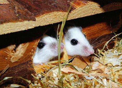 Mice, Mastomys, Rodents, Society, Pets, Close