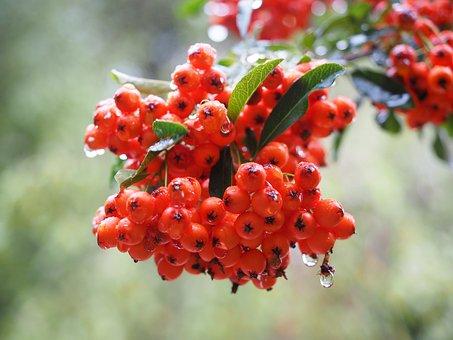Firethorn, Fruits, Berries, Red, Bush, Pyracantha