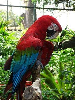 Red, Macaw, Parrot, Bird