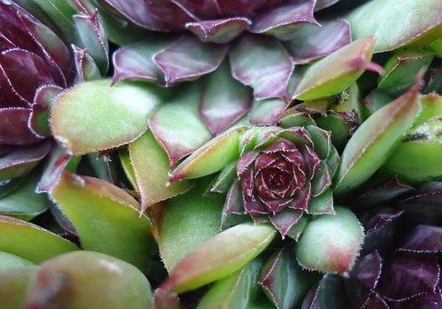 Plant, Bush, Fat Hen, Green, Purple, Violet, Nature