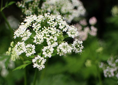 Umbelliferae, Blossom, Bloom, White, Meadow Herbs