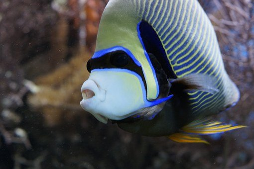 Emperor Angelfish, Angelfish, Fish, Aquarium