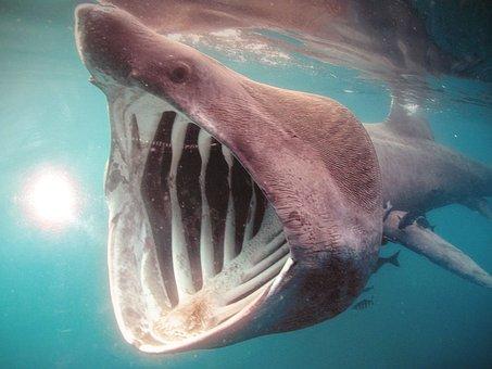 Shark, Ocean, Sea, Water, Animal, Predator, Nature