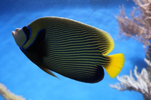Emperor Angelfish, Angelfish, Fish, Aquarium