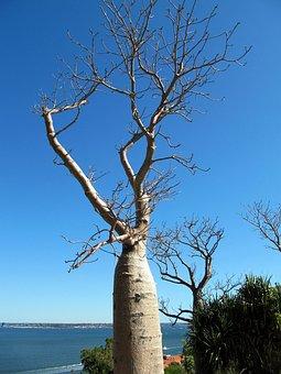 Baobab, Tree, Perth, Australia, Botanic, Garden, Nature