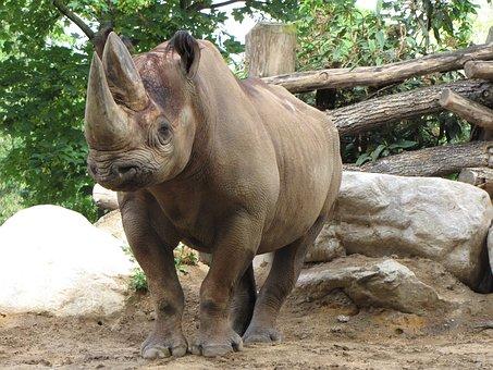 Rhino, Zoo, Rhinoceros, Animal World, Wild, Big Game
