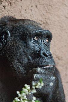 Africa, Animal, Ape, Big, Black, Endangered, Eyes, Face