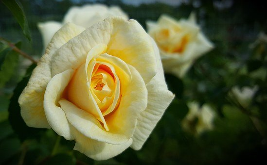 Flower, Plant, Rose, Brian, Yellow Roses, Bloom, Nature