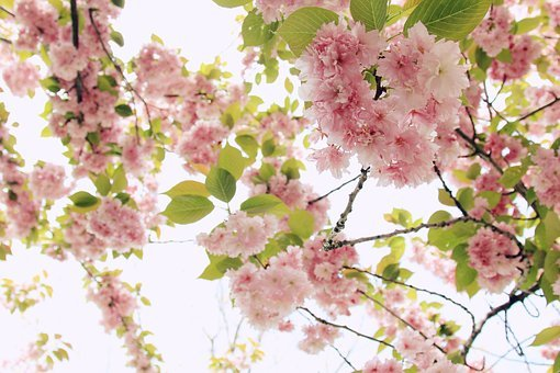 Blooming, Branch, Bright, Cherry Blossoms, Close-up