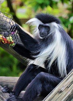 Colobus, Colobus Guereza, Monkey, Animal, Animals, Wild