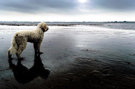 Goldendoodle, Dog, Beach, Bad Weather, Hybrid
