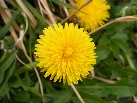 Anti-cancer, Asteraceae, Dandelion, Dyspeptic, Flower