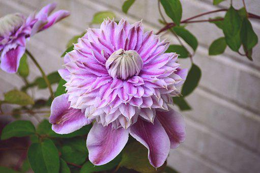 Clematis, Josephine, Climber, Double, Pink, Flower
