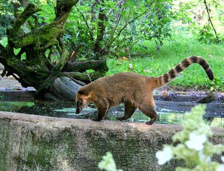 Raccoon, Animal, Fur, Brown, Furry, Nature, Head