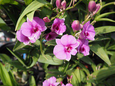 Orchid, Thai Orchid, Purple, Pink, Nature, Garden