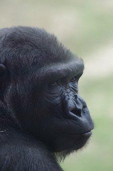 Gorilla, Philadelphia, Zoo, Animal, Primate, Ape, Head