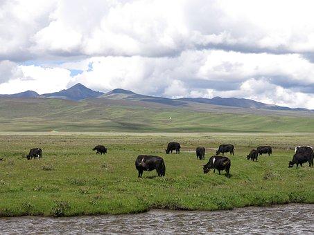 Yak, Landscape, Herd Of Cattle