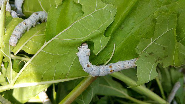 Larva, Silkworm, Mulberry, Insects, Pest